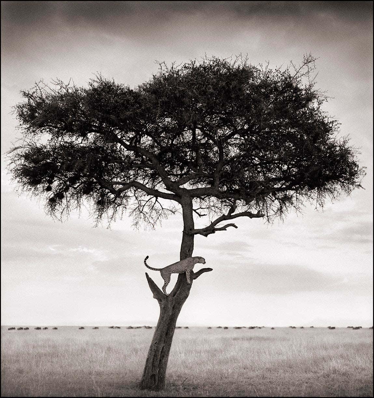 Nick Brandt photograph of cheetah in tree in Maasai Mara