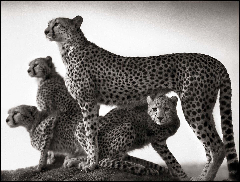 Nick Brandt photograph of cheetah and three cheetah cubs standing on rock in Maasai Mara