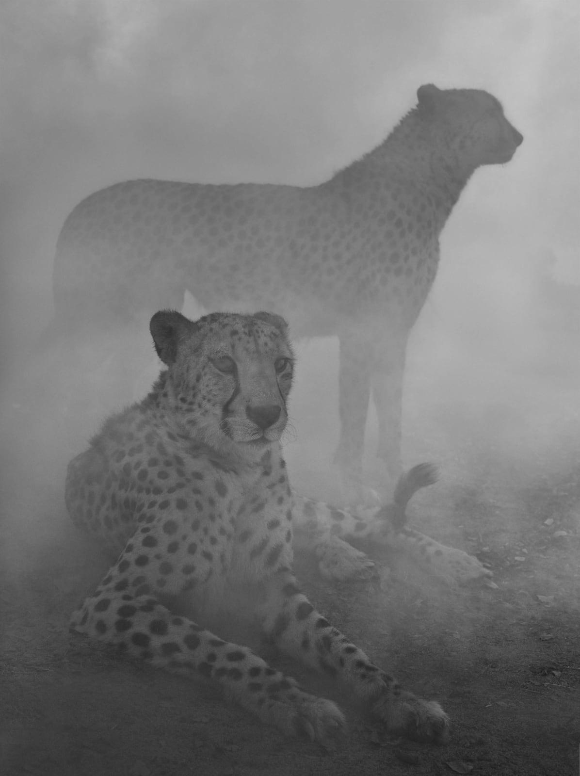 Cheetahs Levi and Diesel in Zimbabwe by Nick Brandt