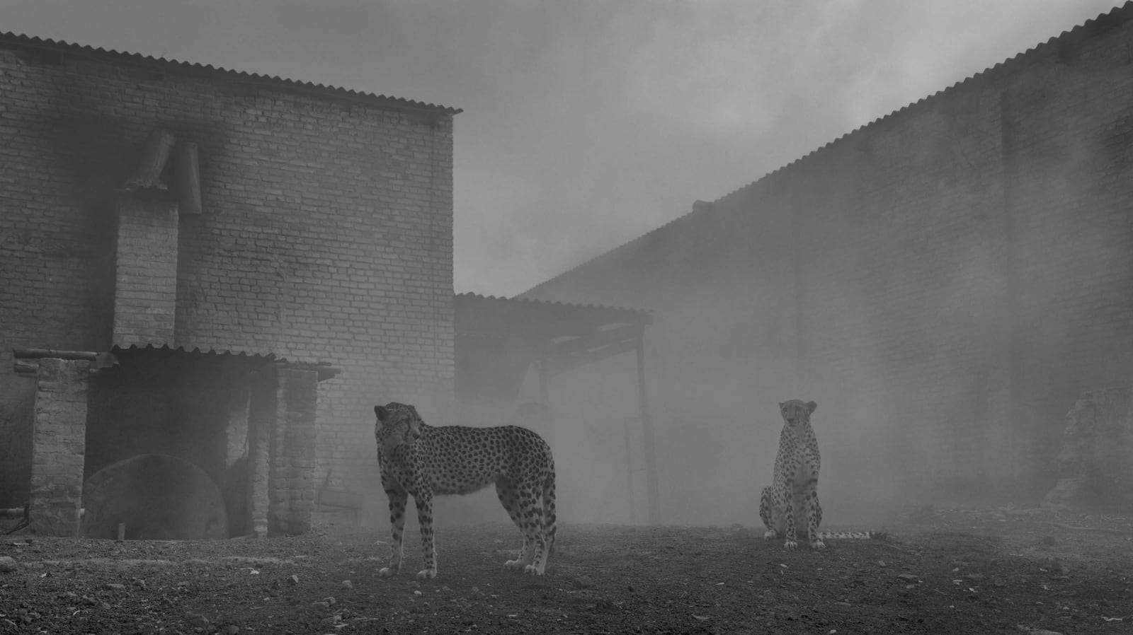Two cheetahs named Levi and Diesel in tobacco factory covered in fog, by Nick Brandt