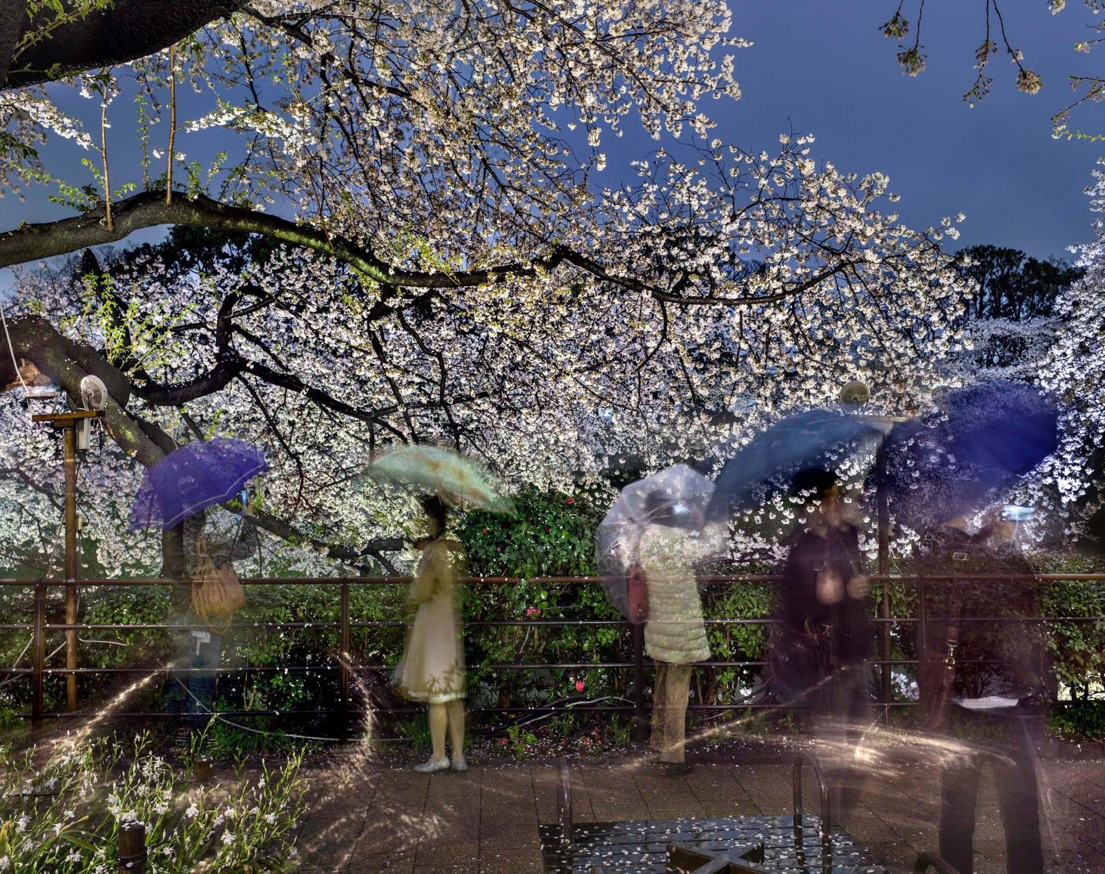 Matthew Pillsbury photograph of people with umbrellas underneath cherry blossom trees at night portrayed through long exposure shot
