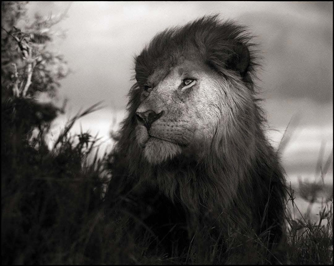 Nick Brandt, Lion in Shaft of Light, Maasai Mara, 2012