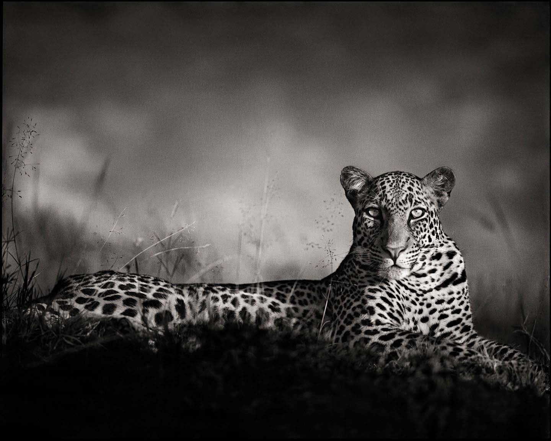 Nick Brandt, Leopard Staring, Maasai Mara, 2010