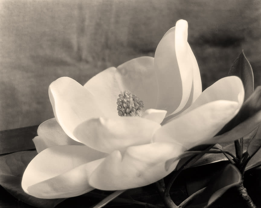 The First Magnolia, about 1923
