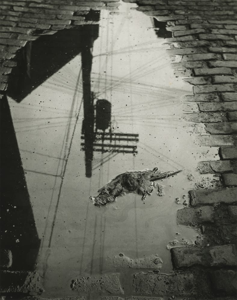 Marvin E. Newman, Rat and Street Sign Reflection, Chicago, 1950