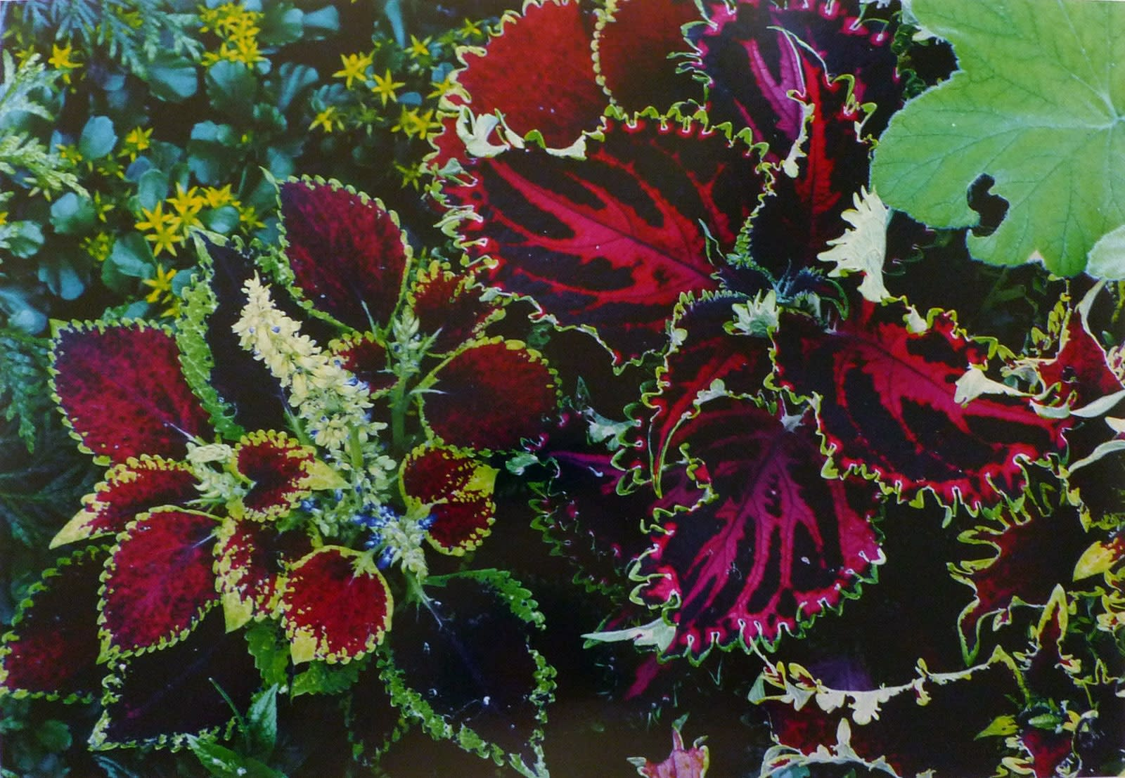 Ernst Haas, Flowers, Coleus, Rockport, Maine, 1982