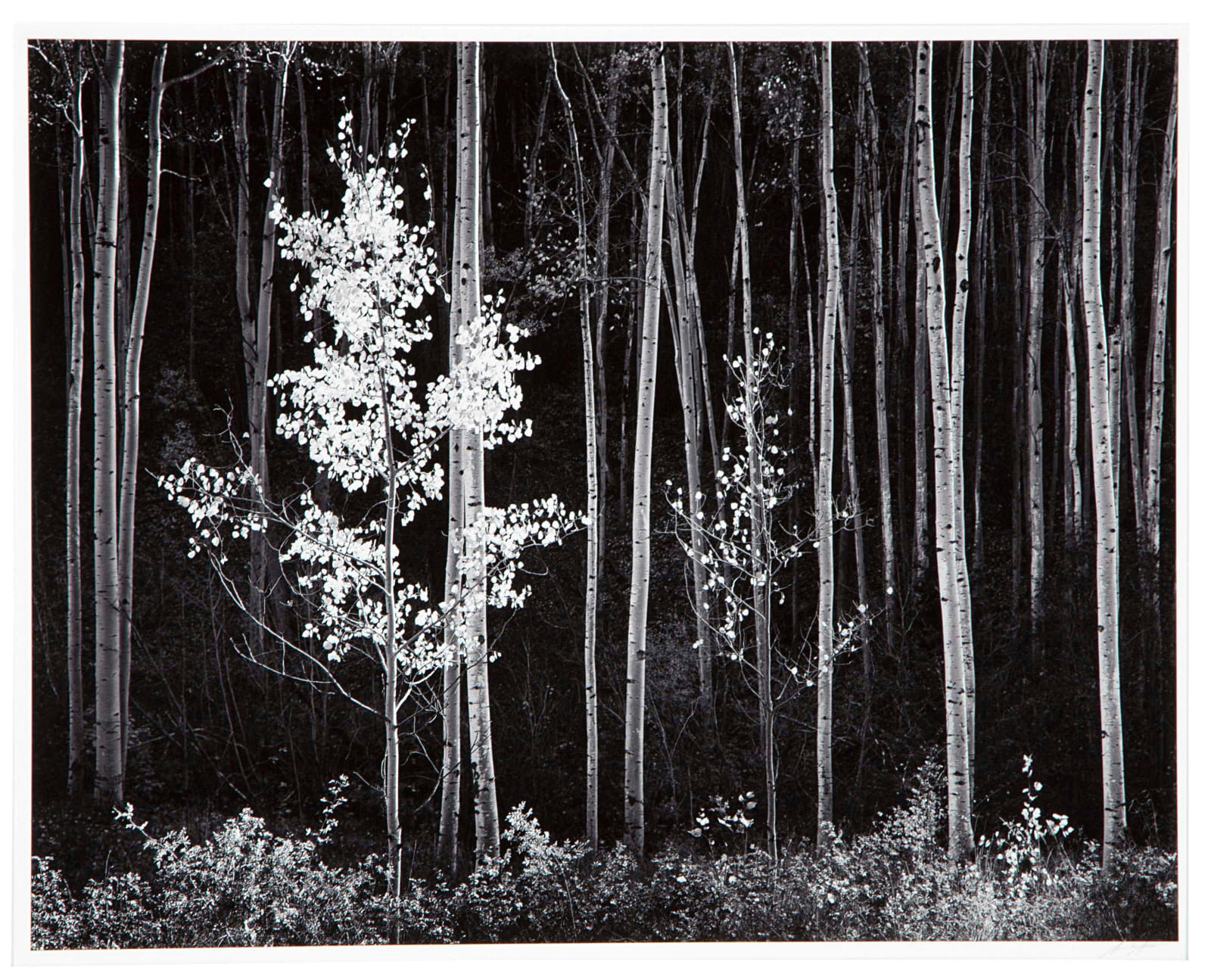 Ansel Adams, Aspens, Northern New Mexico, 1958 (Printed 1976)