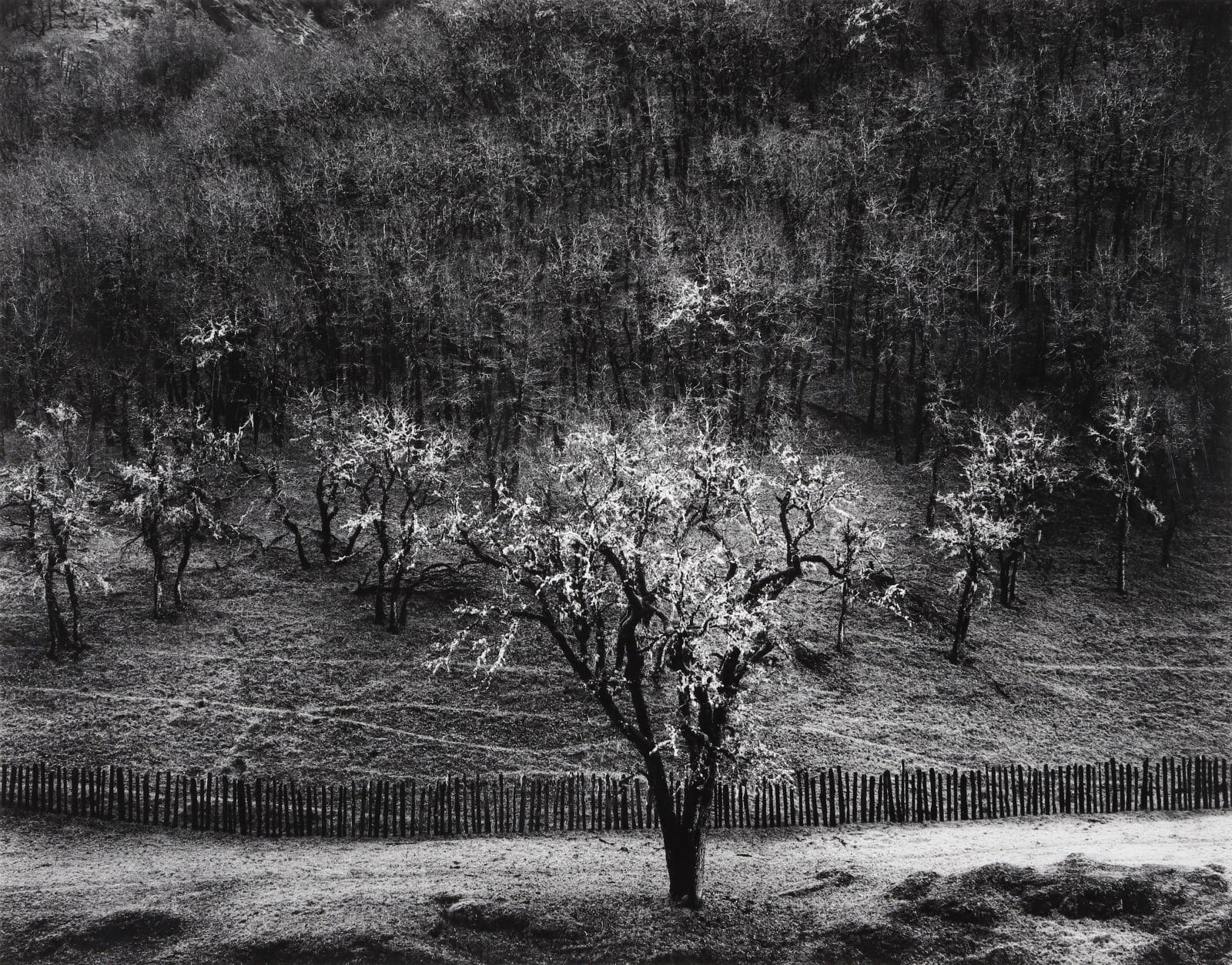 Ansel Adams, Oak Tree, Rain, Sonoma County, California, 1960