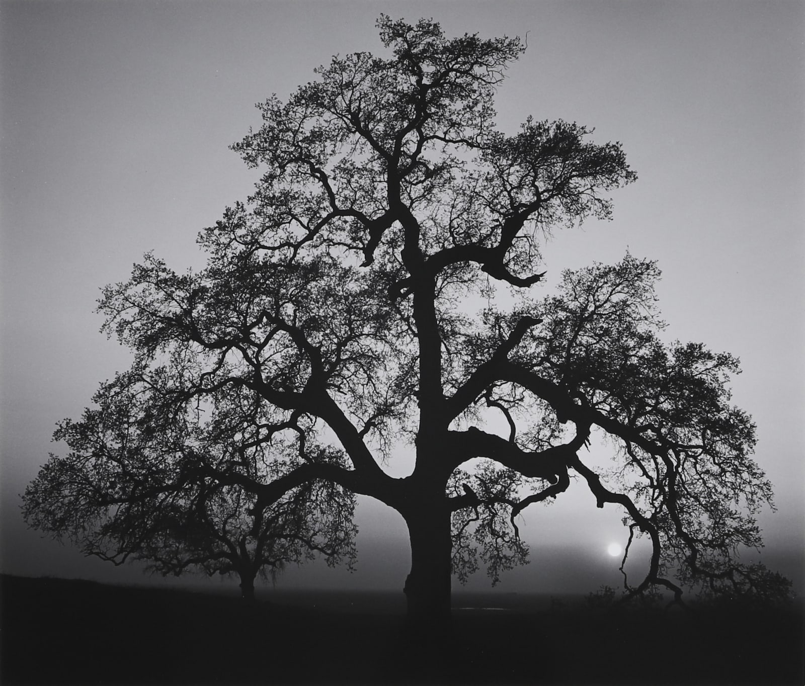 Ansel Adams, Oak Tree, Sunset City, 1962