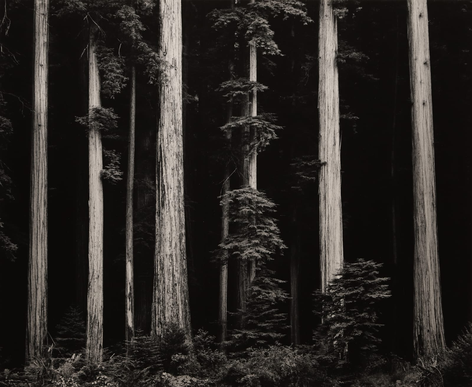 Ansel Adams, Northern California Coast Redwoods, 1960