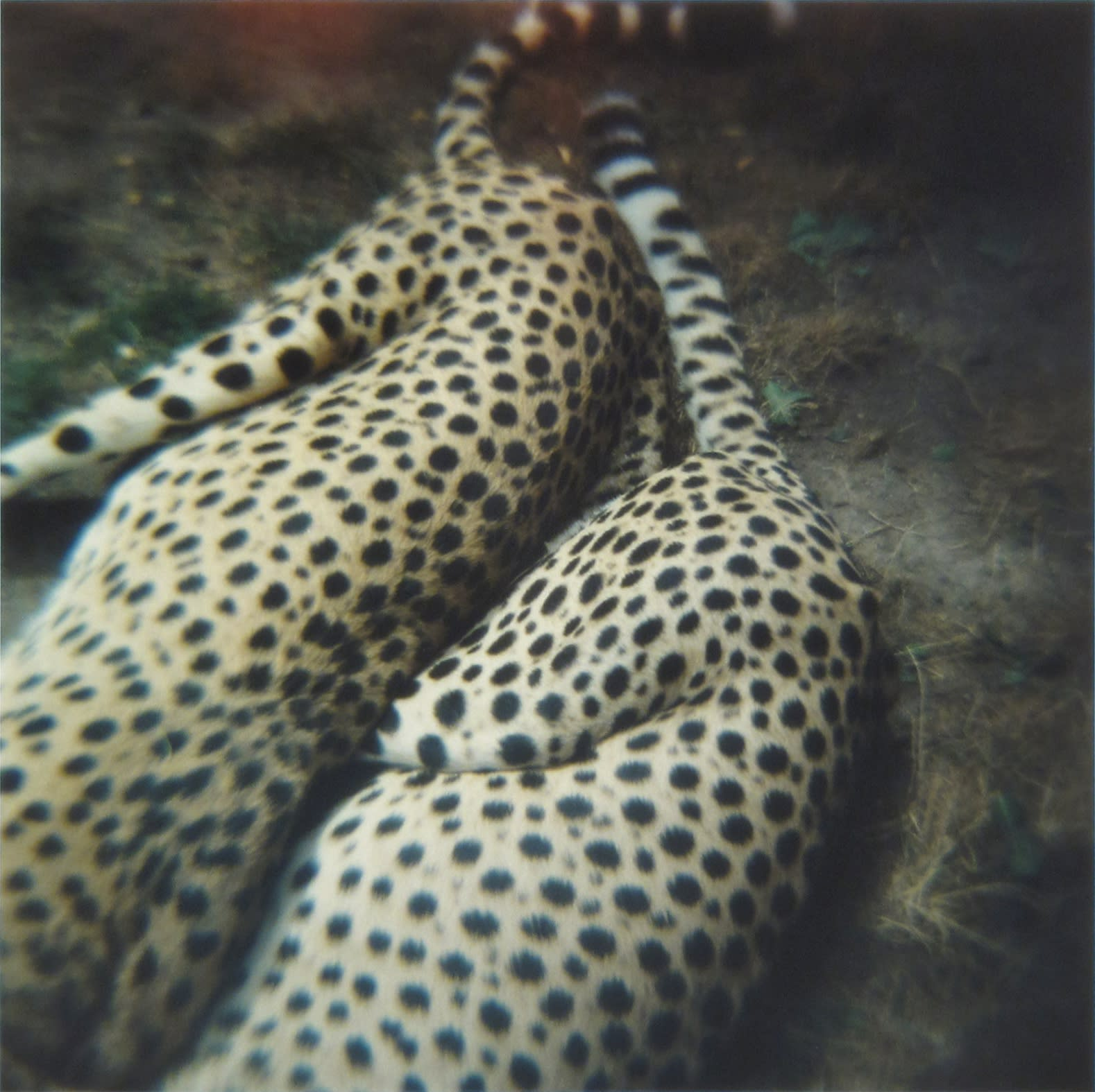Amy Blakemore Cheetahs, 2018 chromogenic print 15 x 15 in (38.1 x 38.1 cm) ABL 244 $3,000