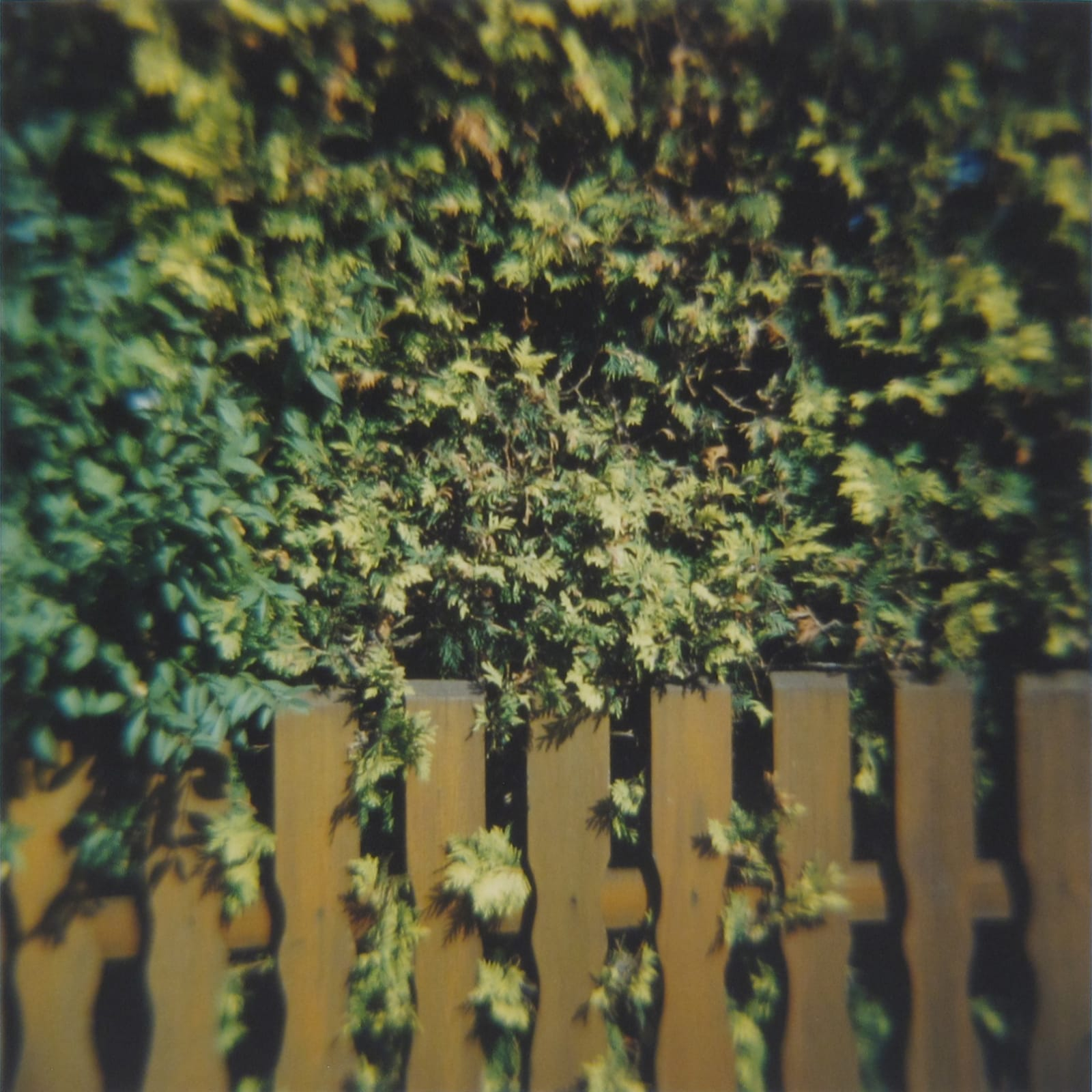 Amy Blakemore Bushes and Fence, 2018 chromogenic print 15 x 15 in (38.1 x 38.1 cm) ABL 248 $3,000