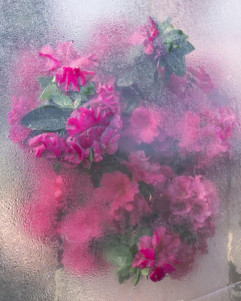 Cig Harvey, Azaleas Pressing, Rockport, Maine, 2018 20 x 16 inch chromogenic dye coupler print Edition of 10 40 x 30 inch chromogenic dye coupler print Edition of 7