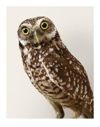 Leila Jeffreys, 'Topper' Burrowing Owl, 2015