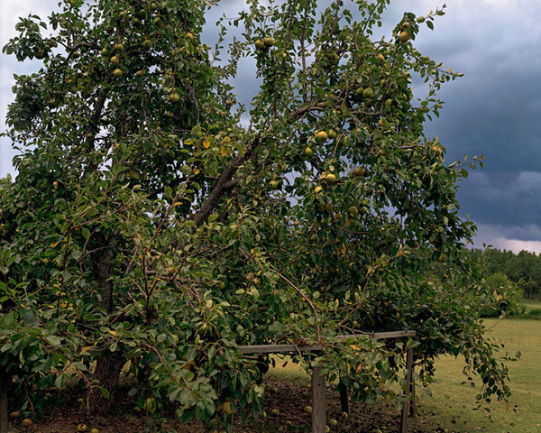 Pear Tree with Storm Cloud, near Akron, Alabama, August, 2002