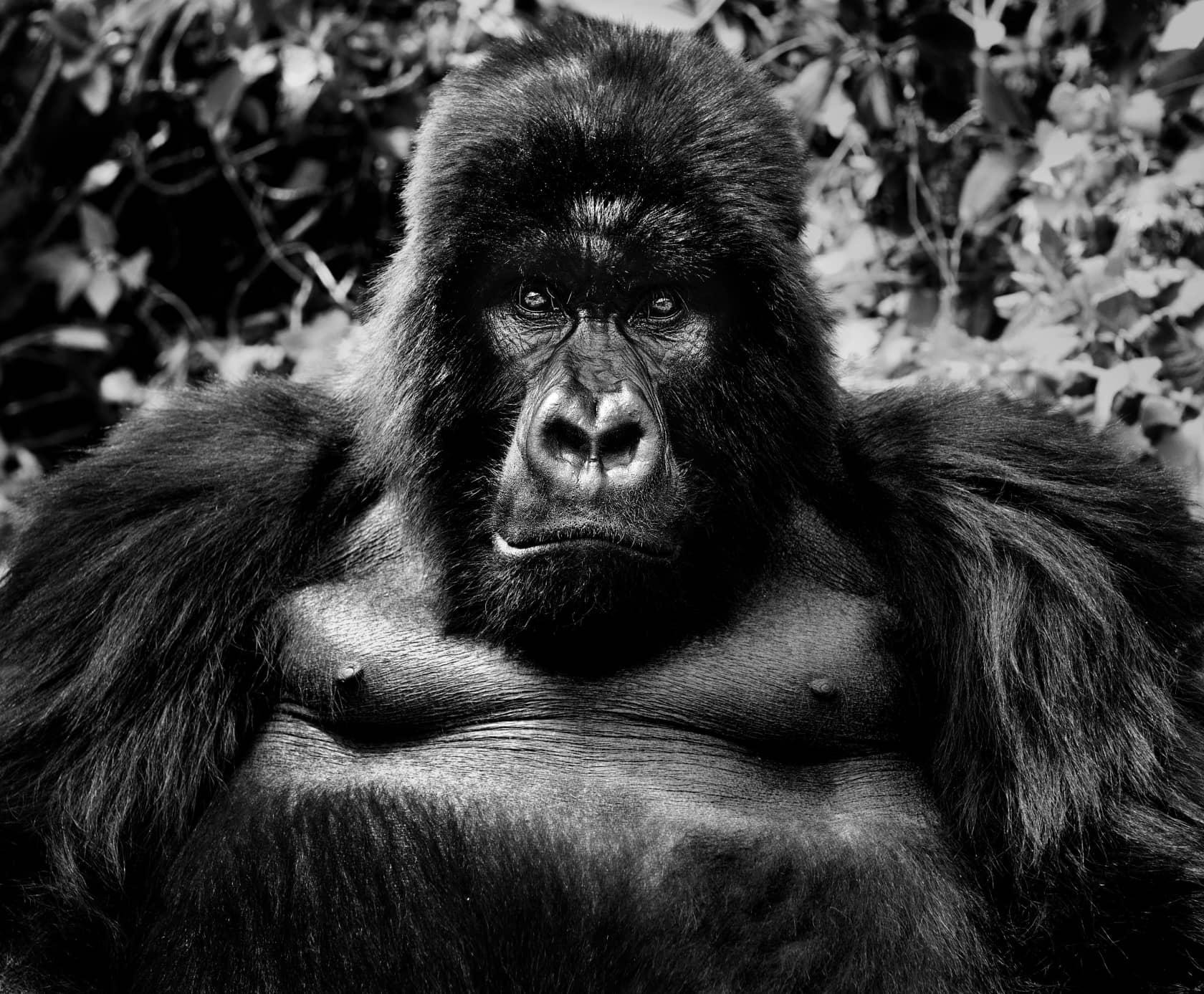 David Yarrow King Kong Archival pigment print