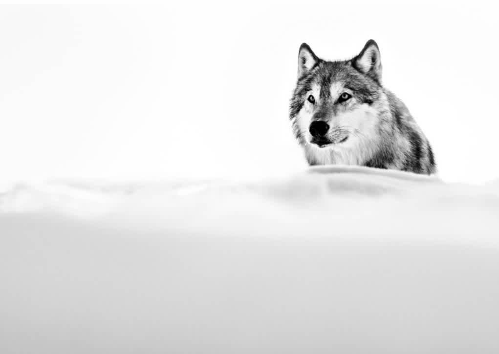 David Yarrow Focused Wolf Archival pigment print