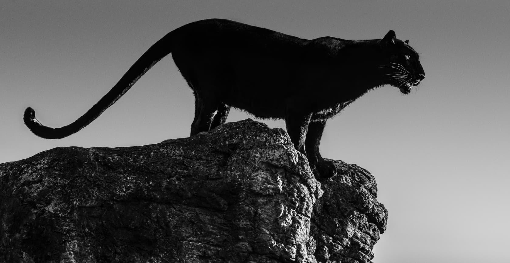David Yarrow, Black Cat, 2019