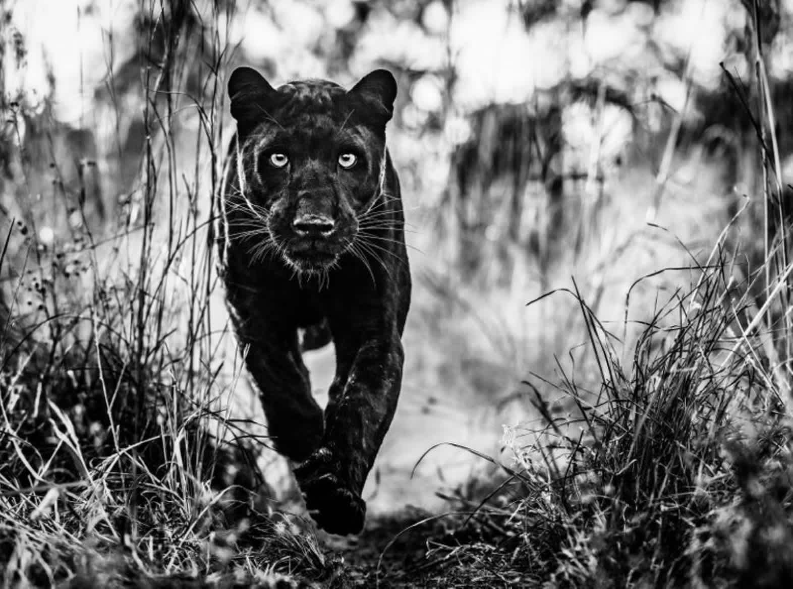 David Yarrow The Black Panther Returns Archival Pigment Print