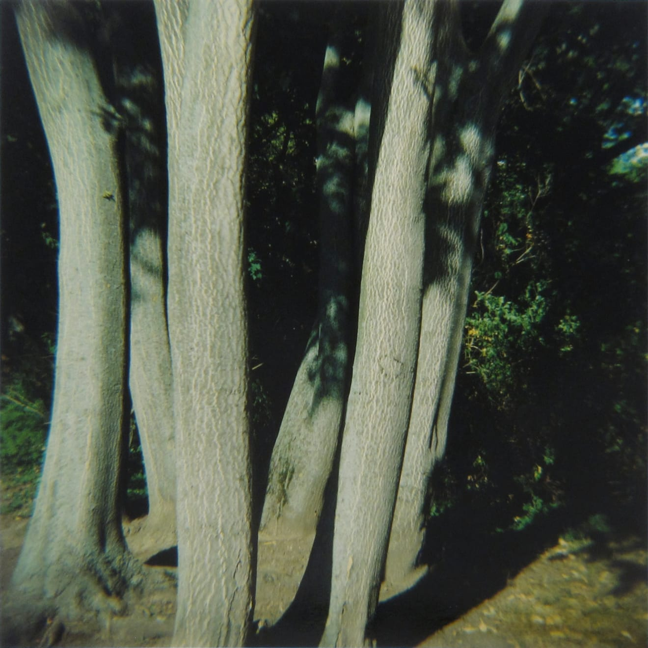 Amy Blakemore Skinny Trees, 2018 chromogenic print 15 x 15 in (38.1 x 38.1 cm) ABL 259 $3,000