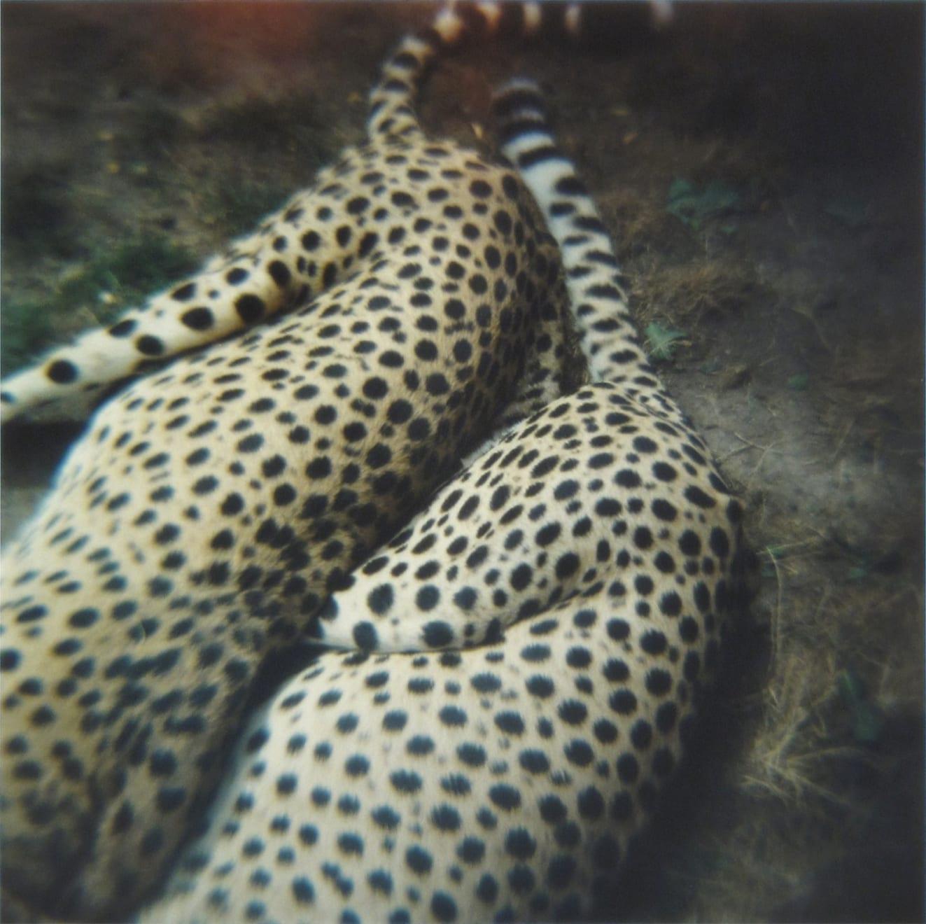 Amy Blakemore Cheetahs, 2018 chromogenic print 15 x 15 in (38.1 x 38.1 cm) ABL 244 $3,000