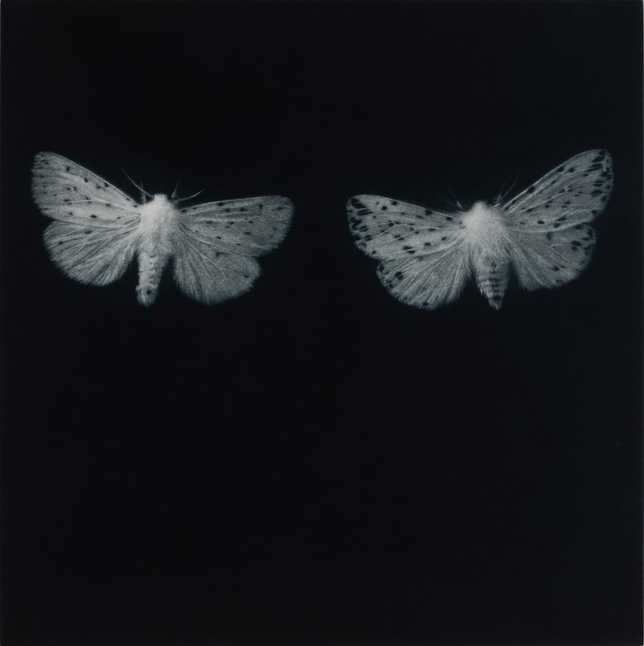 Sarah Gillespie, Ermine Moths, 2019