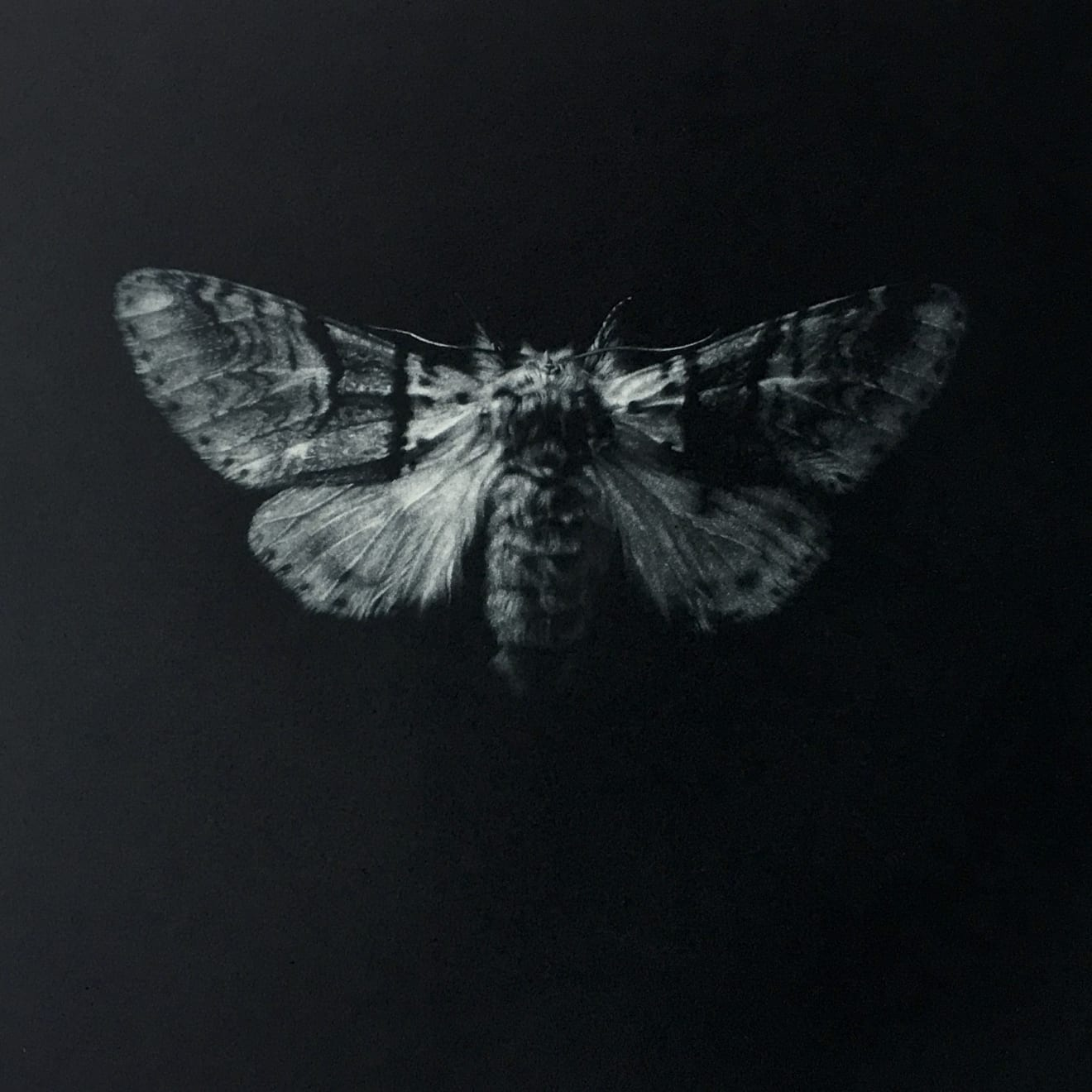 Sarah Gillespie, Sallow Kitten Moth , 2019