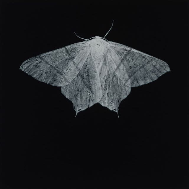 Sarah Gillespie, Swallow-tailed Moth, 2020