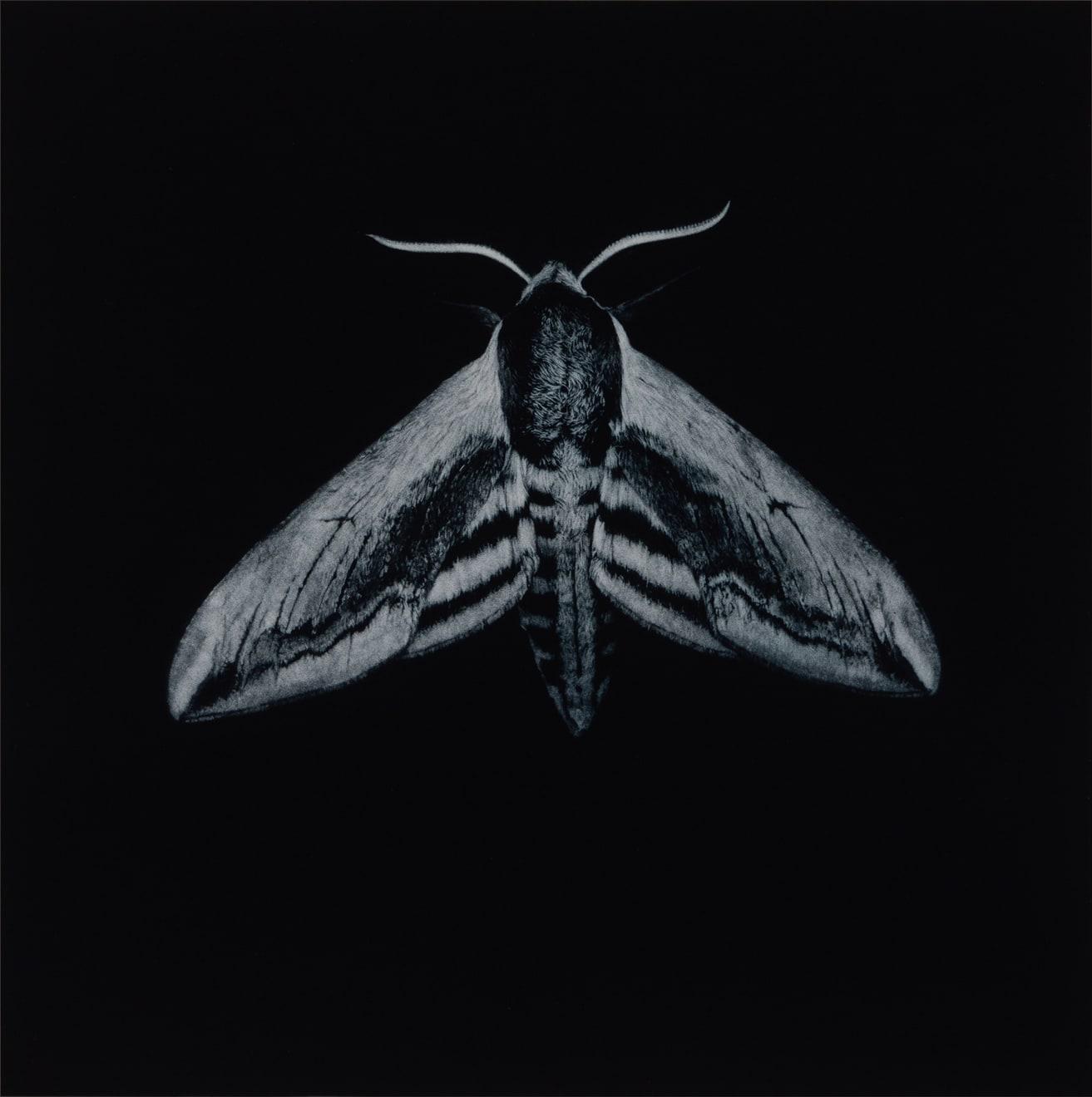 Sarah Gillespie, Privet Hawk Moth , 2020