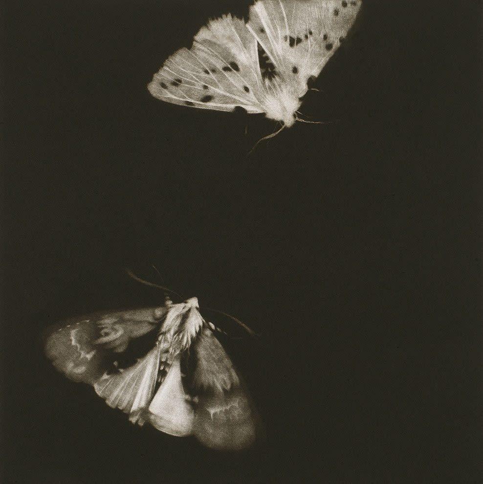 Sarah Gillespie, Alder and Ermine Moths, 2019