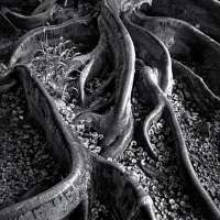 Roots, Foster Gardens, Honolulu, T. H., From Portfolio One: Twelve Photographic prints by Ansel Adams
