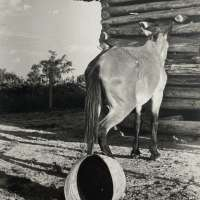 Untitled (Mule and Overturned Bucket)