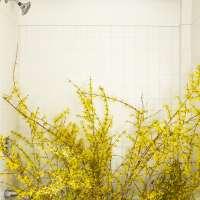 Forsythia in the Bathtub (forced)