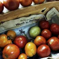 New York Times Week in Review with Ripening Tomatoes