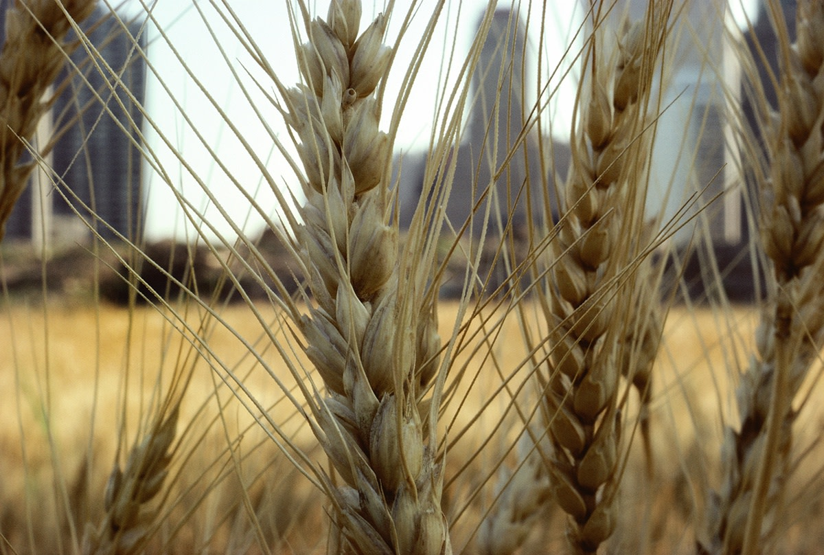 Agnes Denes, Wheatfield – A Confrontation: Battery Park Landfill, Downtown Manhattan – Golden Wheat (Close-up), 1982, Courtesy Leslie Tonkonow Artworks + Projects, New York
