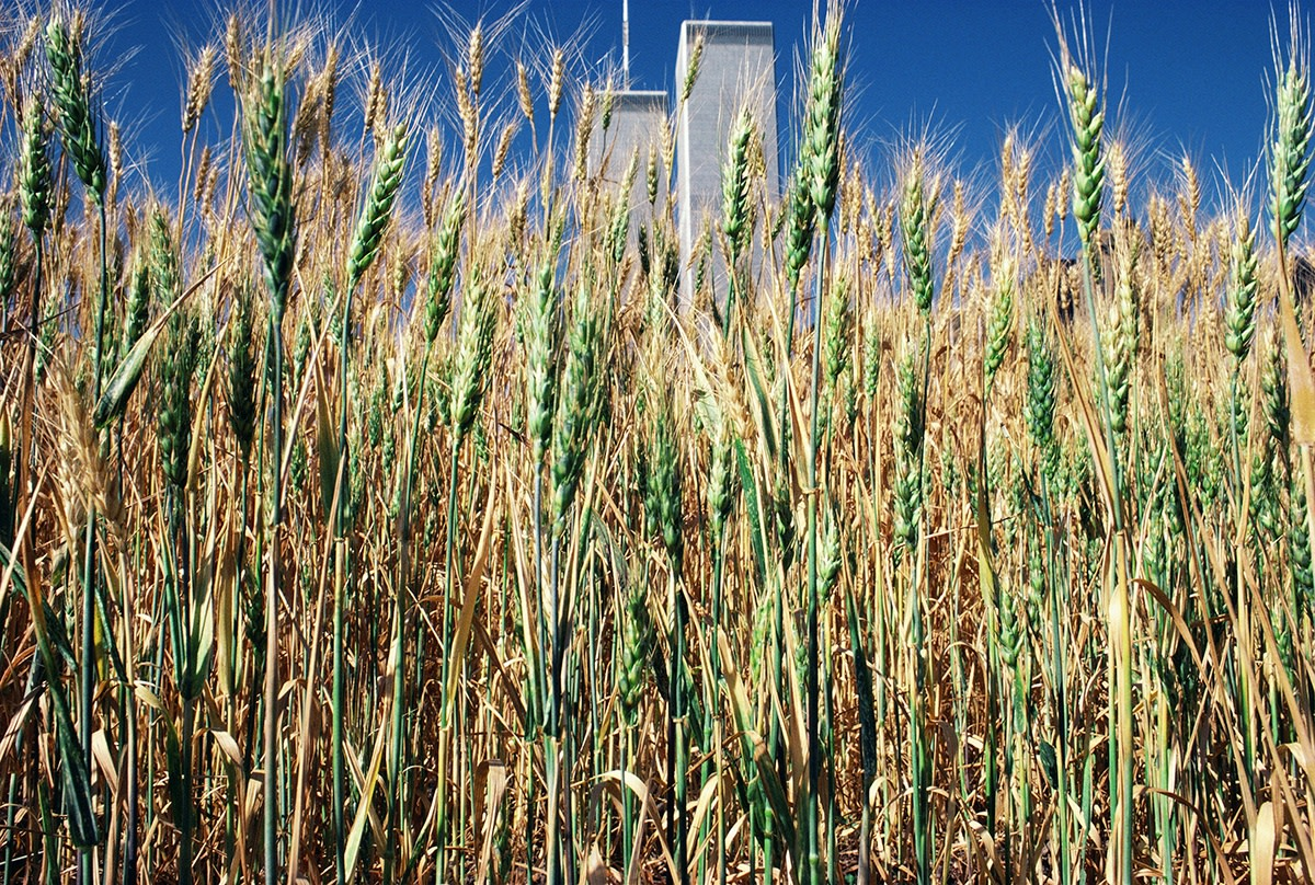 Agnes Denes, Wheatfield – A Confrontation: Battery Park Landfill, Downtown Manhattan – Green Wheat Turning, 1982, Courtesy Leslie Tonkonow Artworks + Projects, New York