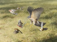 "Rodger Mcphail  Born 1953SPARROWHAWK AND CHAFFINCHES  Oil on paper  20"" x 27"""