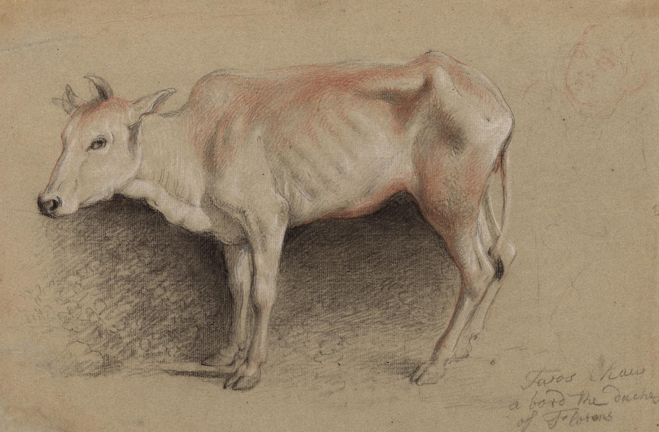 Study of an Indian Cow