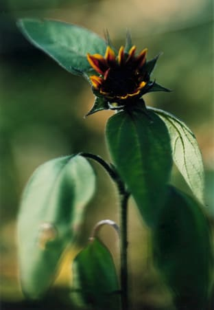 Thomas Struth, Plant No 16, Small sunflower with black kernel, Winterthur, 1992