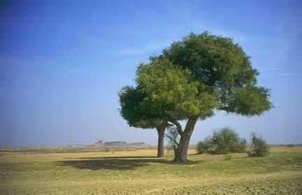 Gabriel Orozco, Trees at the Thar Desert, 1995