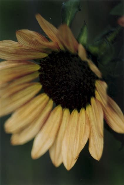 Thomas Struth, Plant No 19, dark hanging sunflower, Winterthur, 1992