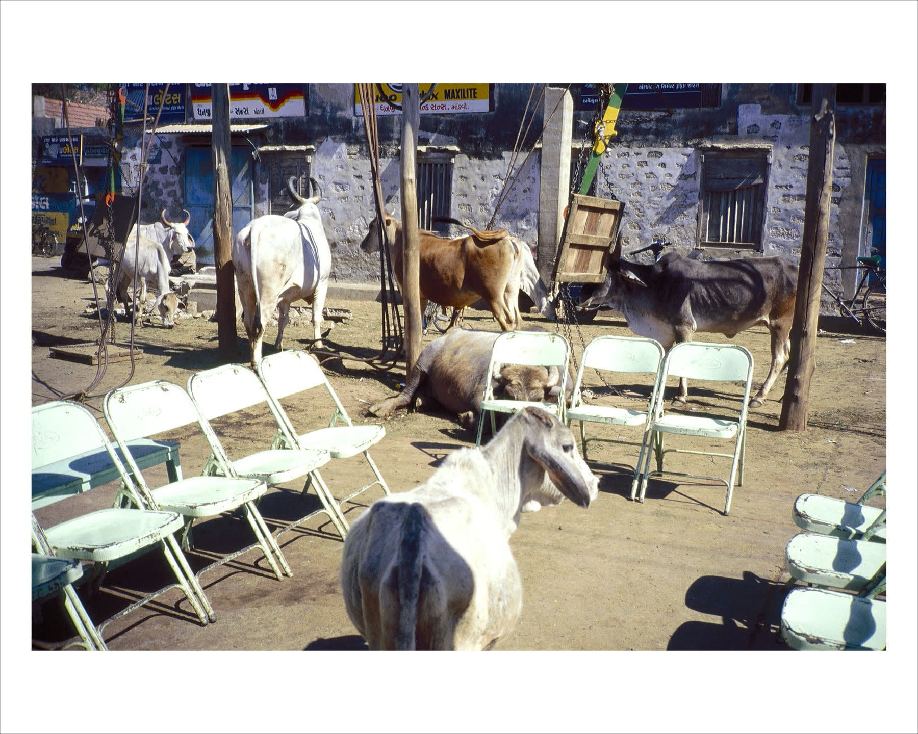 A photograph of chairs and cows by Gabriel Orozco
