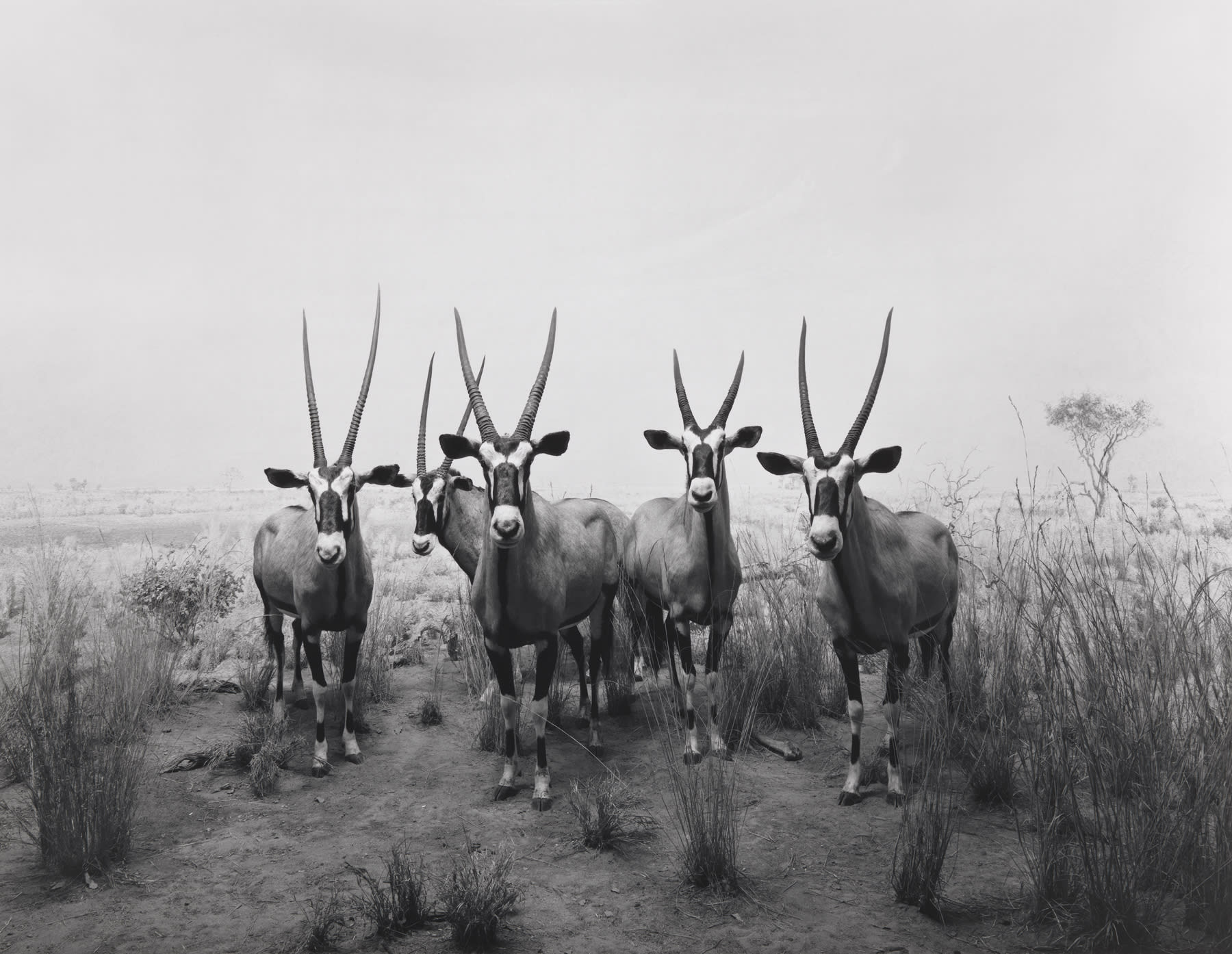5 taxidermy gazelle stand in a life-size diorama of a grassy plain.