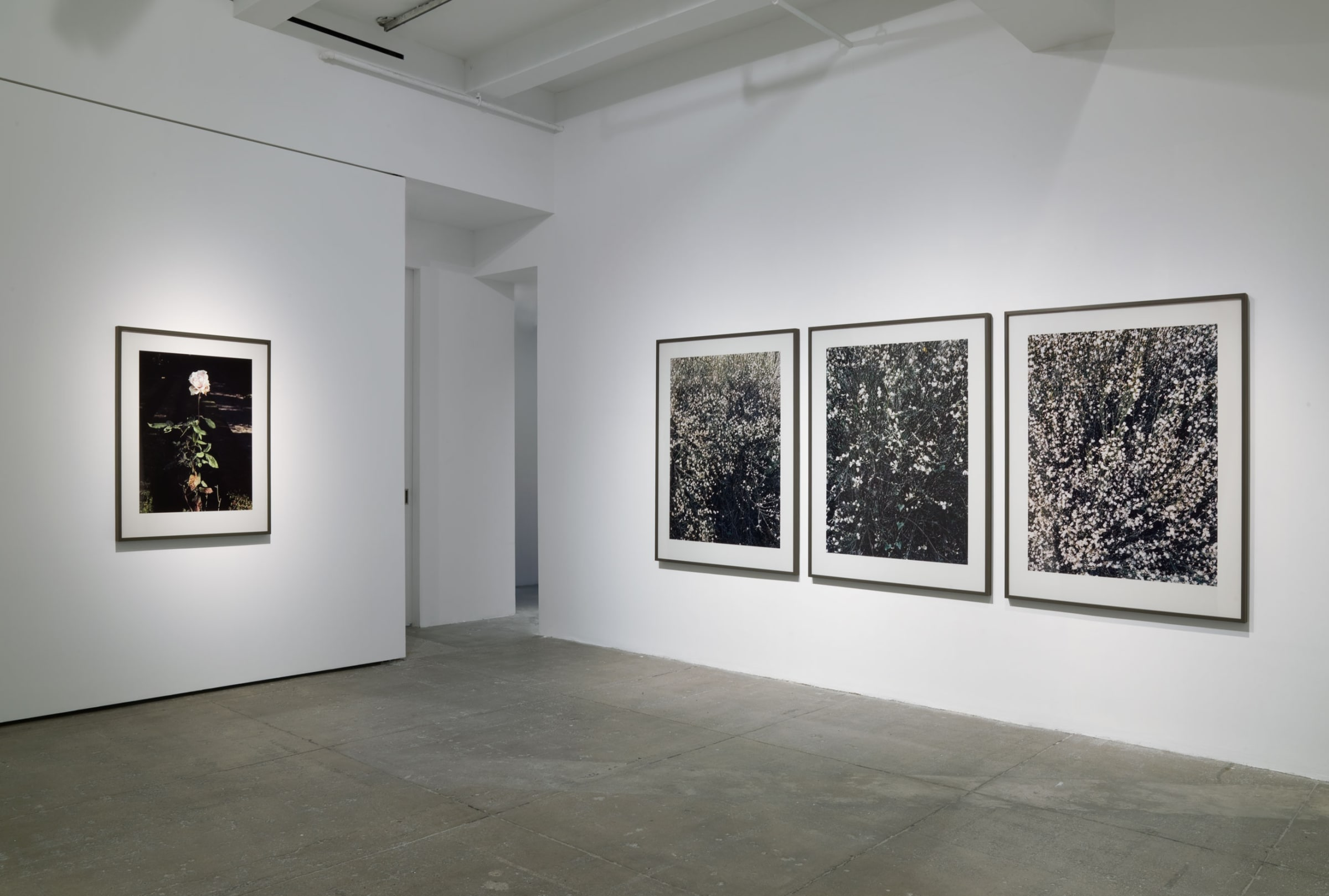 Four framed photographs in the corner of a room depict a single white rose and close-ups of bushes.