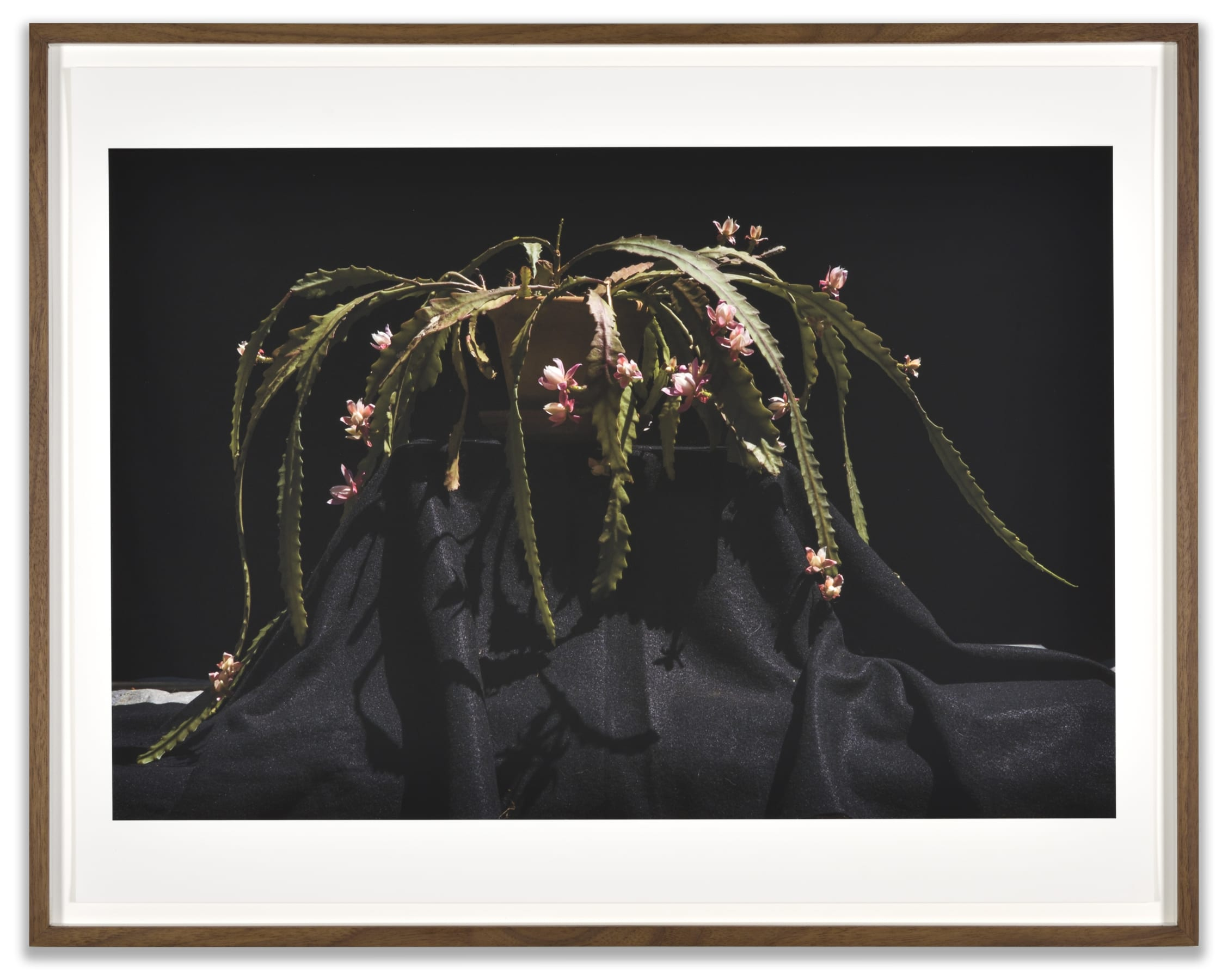 A framed photograph of a flowering cactus by Luciano Perna
