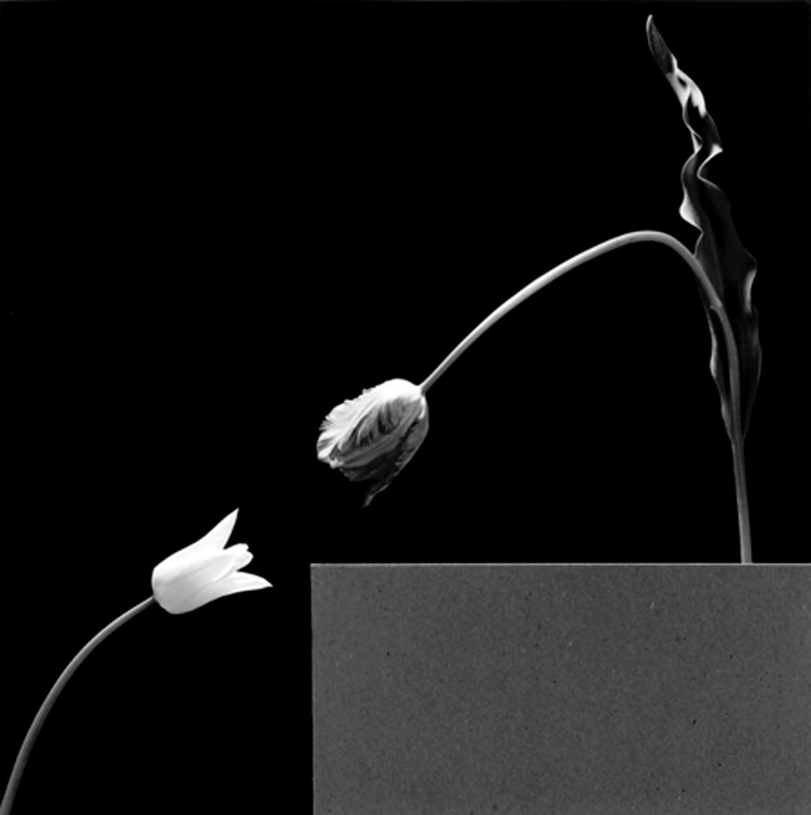 """<span class=""""link fancybox-details-link""""><a href=""""/exhibitions/120/works/artworks7763/"""">View Detail Page</a></span><div class=""""artist""""><strong> Robert Mapplethorpe</strong></div><div class=""""title""""><em>Two Tuplips</em>, 1984 / printed 2011</div><div class=""""signed_and_dated"""">unsigned</div><div class=""""medium"""">gelatin silver print</div><div class=""""dimensions"""">image: 38.40 x 38.10 cm <br>framed: 62.0 x 59.5 cm</div><div class=""""edition_details""""></div>"""