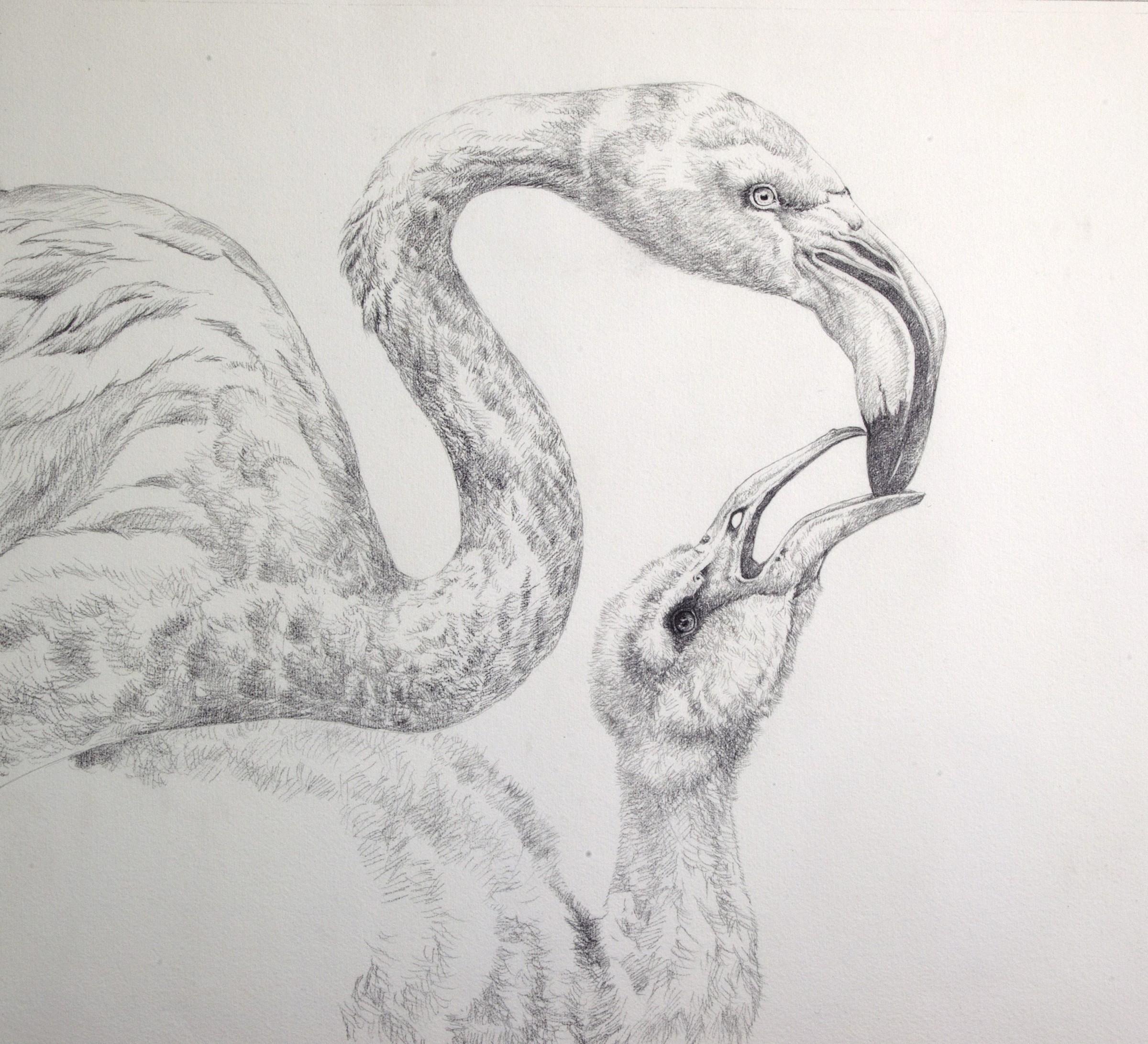 David ord kerr greater flamingo sketch rountree tryon