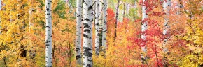 Brilliant Aspens and Maples