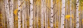 Delicate Aspen Leaves