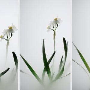 Still Life 007 - Daffodil 小品之七 - 水仙